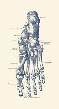 Posterazzi PSTJPA700018H Vintage Anatomy Human Left Foot with Each Bone Labeled Photo Print 11 x 17 Multi