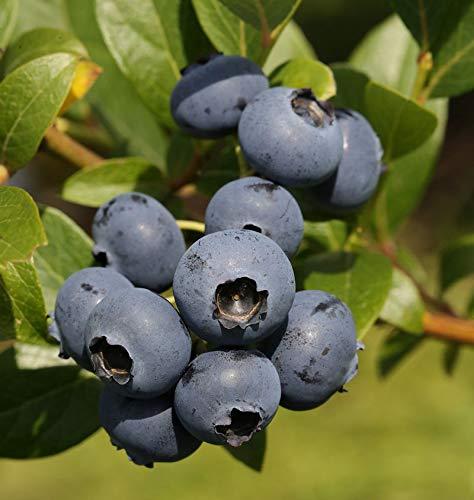 Heidelbeere Bluecrop 100-125cm -...