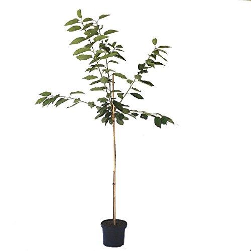 Müllers Grüner Garten Shop Burlat sehr frühe Süßkirsche Kirschbaum Halbstamm ca. 170-200 cm 10 Liter Topf Unterlage F12/1