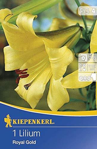 Kiepenkerl Blumenzwiebel Trompeten Lilie \'Royal Gold\' | mehrjährig | gelb | 1 Knolle