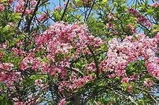 Cassia Javanica Pink Cassia Pink Flowers Seeds AMND-714