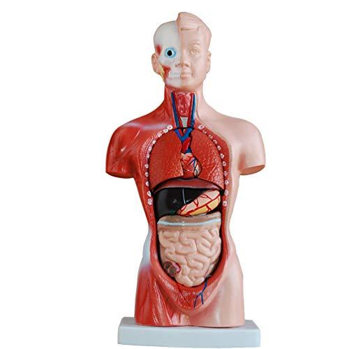 Toyvian Modelo de anatomía del Cuerpo del Torso Humano corazón sin Sexo Esqueleto del Cerebro Partes extraíbles Educativo médico para niños de la Escuela Estudiantes 28 cm 🔥