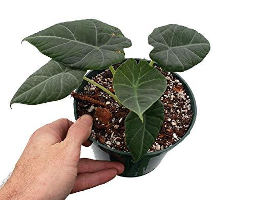 Maharani Grey Dragon Plant -Alocasia- Rare Houseplant-4