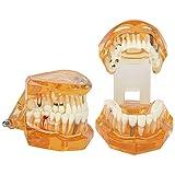 Modelo de dientes ,modelo excelente de dientes emostración naranja utilizado en escuelas dentales y universidades en programas educativos con material dental