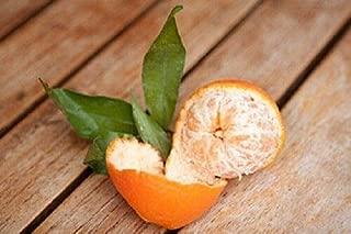 Heirloom Mandarin Clementine Tree 20 Seeds