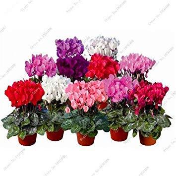 Vista 2017 neue 100 Teile/beutel Bunte Alpenveilchen Blume Schöne Mehrjährige Blüte Topfpflanzen Samen, Bonsai Pflanzensamen Kinder Lieben Es 4