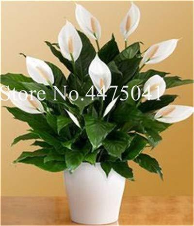 Bloom Green Co. 120 Stück Calla-Lilien-Bonsai, Rare Raum Blumen Callylily Rhizome Zantedeschia aethiopica, Zimmerpflanzen Home Garten Four Seasons Pla: 20