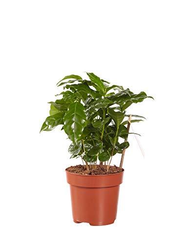 Planta de interior de Botanicly – Coffea Arabica – Altura: 25 cm