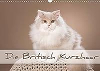 Die Britisch Kurzhaar (Wandkalender 2022 DIN A3 quer): Liebevolle Tierfotografie (Monatskalender, 14 Seiten )