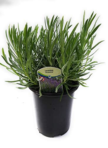 Findlavender - Lavender Plant Phenomenal (Blue Flowers) - 1Qt Size Pot - Zones 5-11 - Bee Friendly - Attract Butterfly - Evergreen Plant - 1 Live Plant