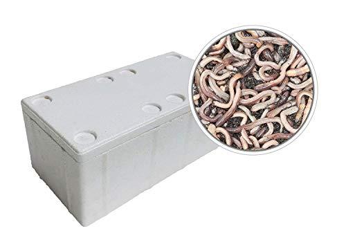 50 Stück Kanadische Tauwürmer in der Styroporbox - inkl. 1 Coolpack - Angelköder