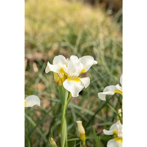 Iris sibirica 'Viel Schnee' - Bartlose...