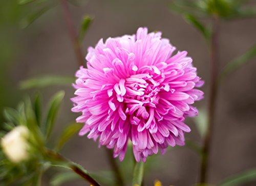 Aster rose a chrysantheme\