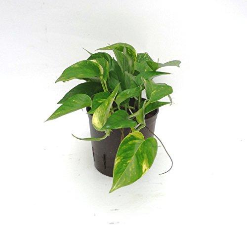 Efeutute, Epipremnum aureum, Zimmerpflanze in Hydrokultur, 13/12er Kulturtopf, 18 - 25 cm