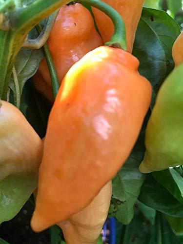 VISA STORE Orange Haba Gewürz Pfeffer, Capsicum chinense, aus Südamerika (10 Samen)