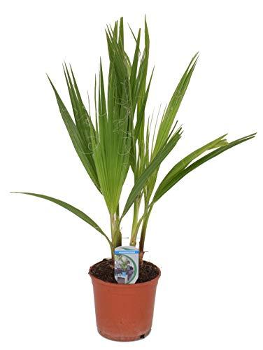 Washingtonia filifera 2-3 Stämme 70-80 cm T14 Petticoat-Palme Zimmerpflanze