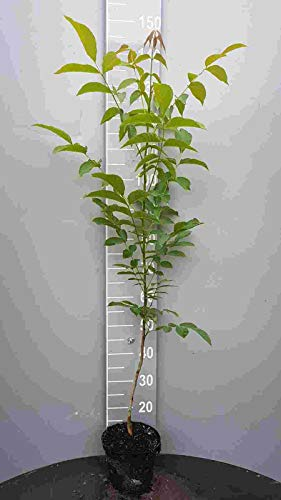 1st. Walnussbaum 80-100cm im Topf Juglans Nuss Walnuss Gartenpflanze