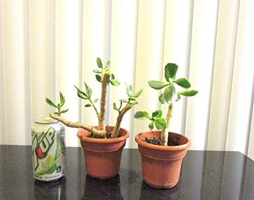 Germinación Las Semillas: 2 Plantas Resistentes abigarrado Jade Crassula para shohin Mame Bonsái
