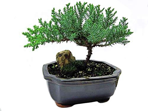 9GreenBox - Japanese Juniper Bonsai Tree with Fertilizer