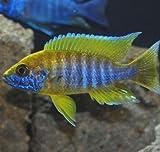 Live Fish - 6 Benga Sunshine Peacock Aulonocara...