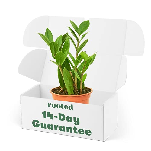 Rooted ZZ Plant - Zamioculcas zamiifolia   Live, Easy to Grow, and Low...