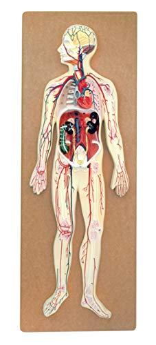 eisco Labs Premium modelo anatómico humano sistema circulat