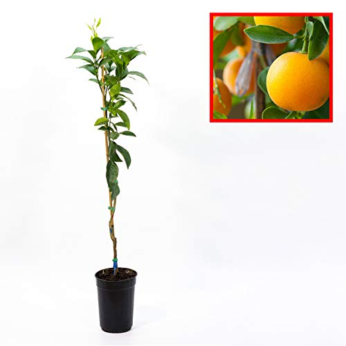 Naranjo - Variedad LANE LATE - plantón de 1 metro de altura - PLANTA VIVA (1)