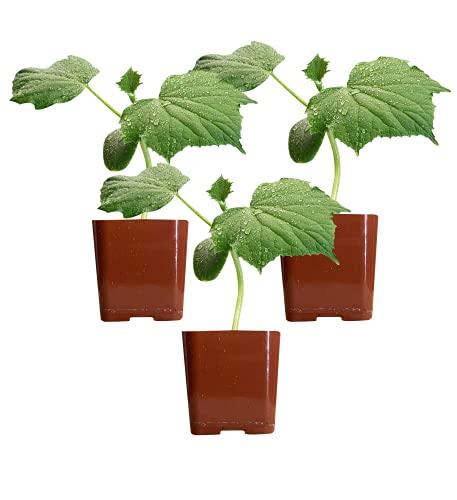 Three (3) Live Cucumber Plants