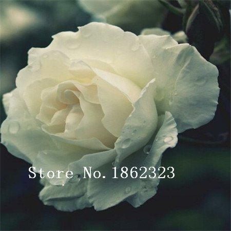 100pcs Différentes couleurs rares Osiria Rose, emballage professionnel, graines Heirloom chinoise Rose Graines de fleurs