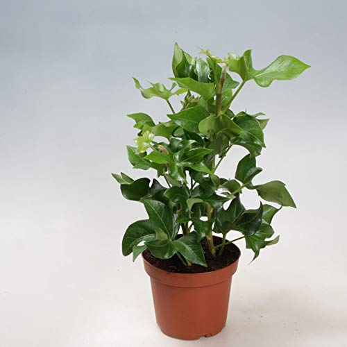 Efeuaralie 60 cm Fatshedera lizei Pia pflegeleichte Zimmerpflanze