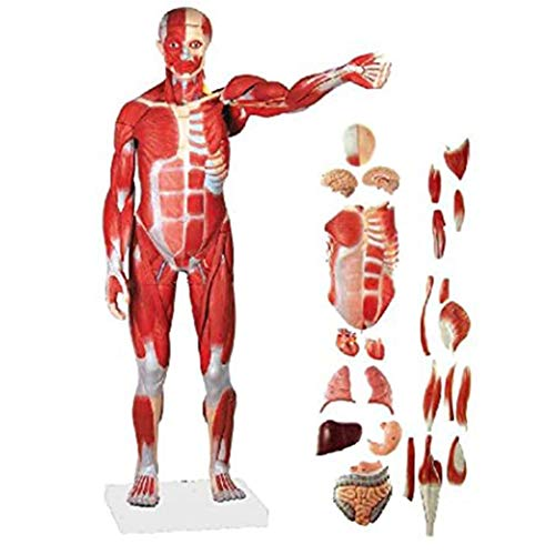 DMYY Anatomical Human Muscular Figure Model, 27-Part, 34' Life Size Human Skeletal Organ Model Medical Multiple Parts Can Be Detached