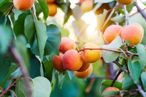 "1 Aprikose\"" Ungarische Beste\"" Aprikosen Obst Busch Prunus armeniaca inkl. Dünger"