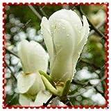 100 Unids/bolsa Semillas de Flores de Magnolia Huang Yulan Magnolia, Bonsai Plant Home Garden