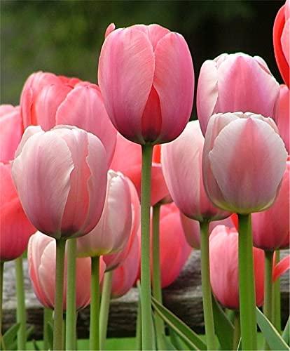 Bulbos de tulipán/ Magnífico / patio jardín / elegante / valor ornamental / brillante / impresionante / postura-4 Bulbos,A