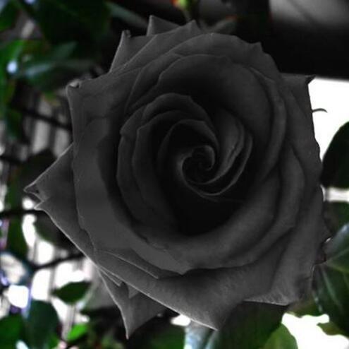 50 Graines Rose Noire - avec bord rouge, couleur rare, jardin de fleurs populaires Graines vivaces Bush ou Bonsai Fleur 12