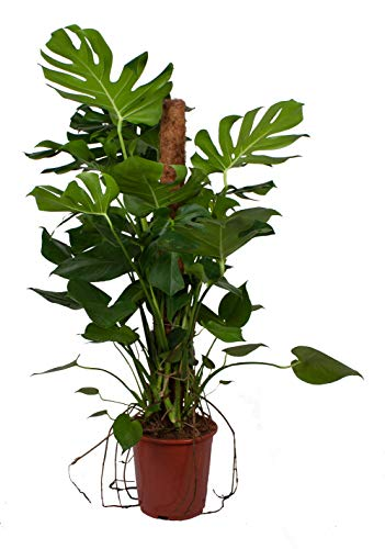 Planta de interior de Botanicly – Monstera – Altura: 110 cm – Monstera Deliciosa
