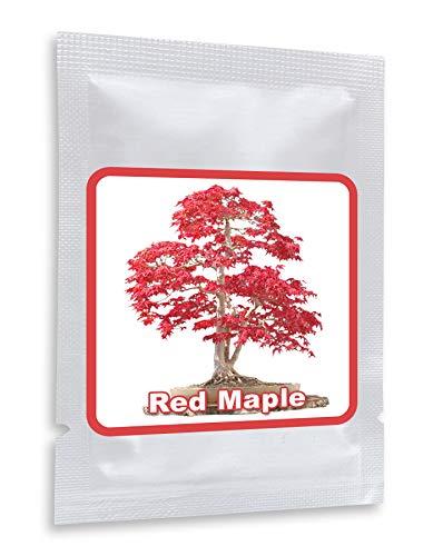 20 Semillas rojo Arce Japonés - (Acer palmatum atropurpureu