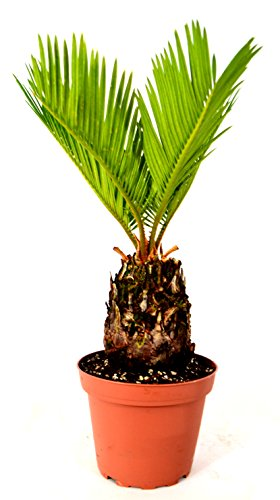 Japanese Sago Palm - GREAT GIFT EASY TO GROW - 4' pot