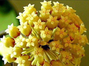 100pcs / sac Vente Hot arc Hoya Rare Graines Outdoor Blooming Bonsai plantes en pot de fleurs Maison et Jardin Livraison gratuite 7