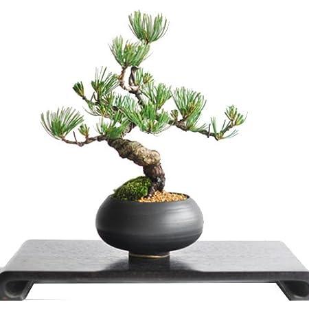 盆栽妙 枝ぶりの良い五葉松の盆栽 幅20cm×樹高20cm 父の日 人気 プレゼント おしゃれ ミニ はじめて