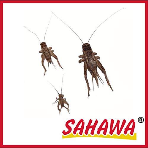 SAHAWA Lebendfutter Heimchen groß 2X 40 Stück in spezieller Winterverpackung + Geschenk gratis, lebende Futtertiere, Reptilienfutter, Heuschrecken, Heimchen, Grillen