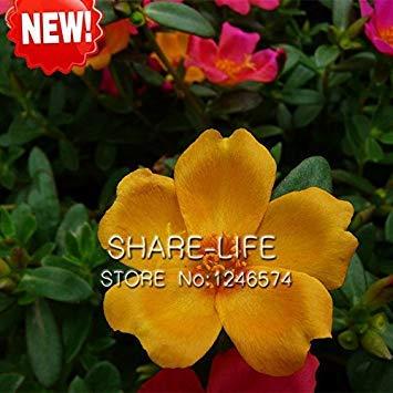 GEOPONICS New Seeds !! 100 Samen/orange Sun Samen Balkon Garten Topf Bonsai Samen Scutellaria barbata Seeds packen