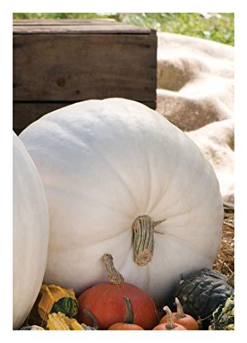 TROPICA -Kürbis - Riesenkürbis ´Polarbear`/ Polarbär(Curcubita maxima) - 7 Samen