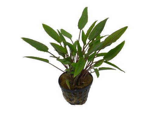 Aquarienpflanzen Cryptocoryne walkeri, Wasserpflanzen