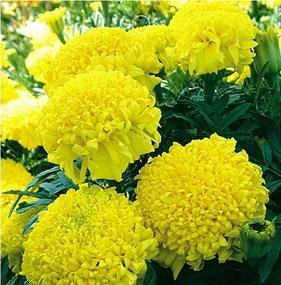 SD1275 Rare Yellow Chrysanthemum-shaped Marigold...