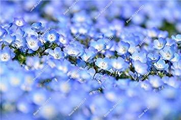 Blau Leinen Blumensamen Balkon Hausgarten Blühende Pflanzen Import Leinsamen Indoor-Party Dekorative Einfache 120 Stück wachsen 20