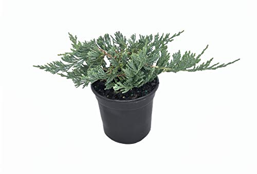 Blue Rug Juniper - 30 Live Plants - 4' Container Low Maintenance Evergreen Ground Cover