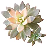 Variegated Ghost Plant Rare Succulent (2 inch)