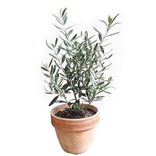オリーブの木 イタリア製テラコッタ鉢植え 観葉植物 本物 ガーデニング 記念樹 ミニ 中型