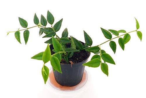 HOYA BELLA, pianta giovane, pianta vera